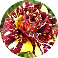 Многоцветные розы