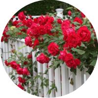 Садовые, парковые розы