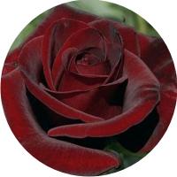 Тёмно-красные розы